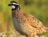 Quail and Pheasant Numbers Look Better