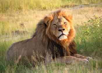 Cecil in happier days at Hwange National Park.