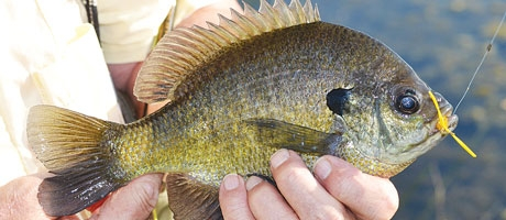Finding a Great Bluegill Pond